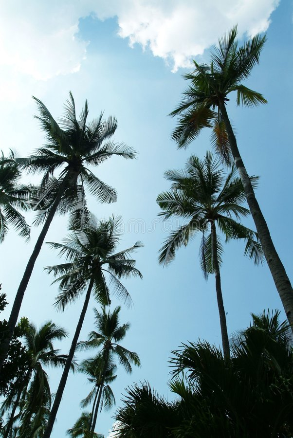 kokosnöttree royaltyfri fotografi