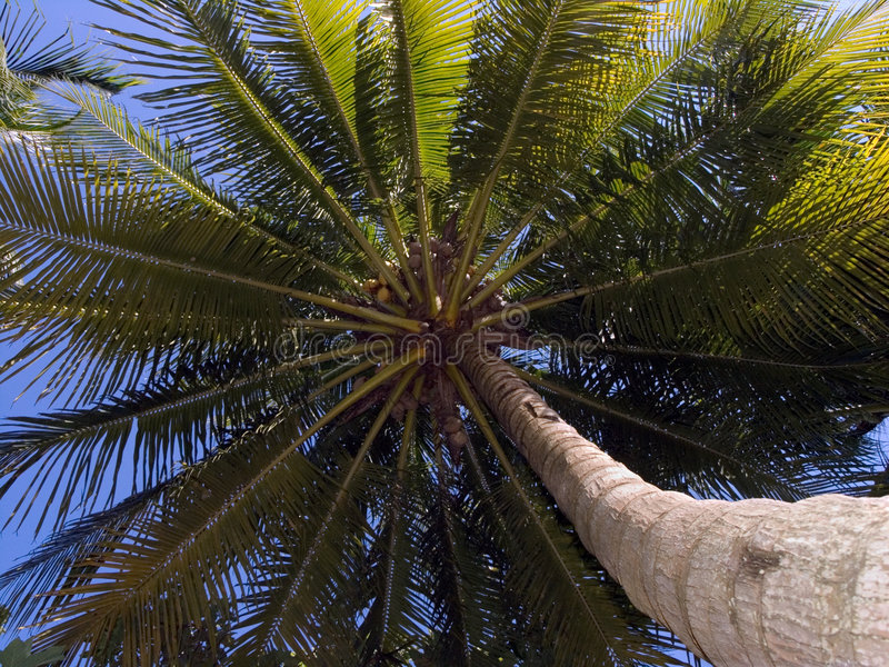 kokosnöttree upp royaltyfria foton