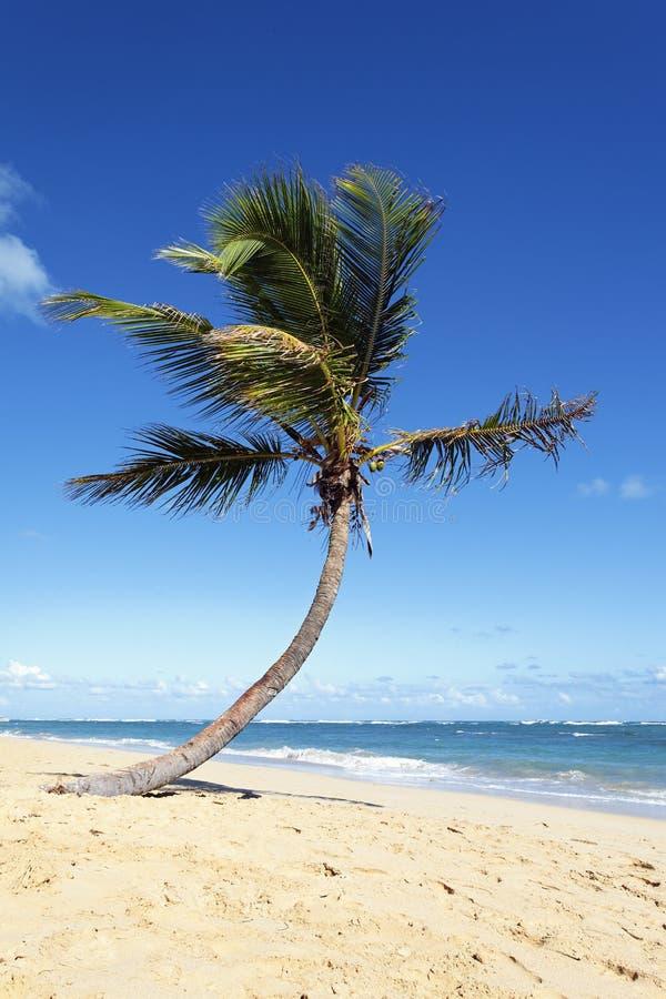kokosnöttreevertical royaltyfria foton
