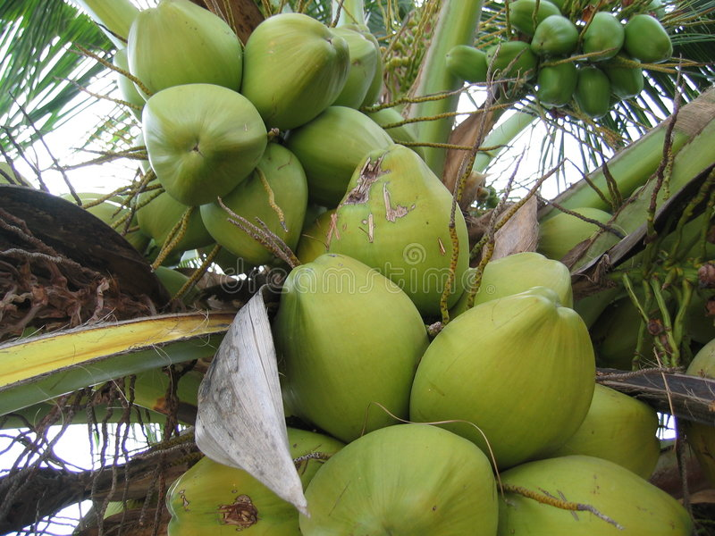 Kokosnüsse stockfotos