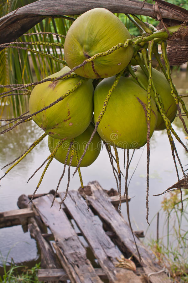 Kokosnüsse Auf Baum Lizenzfreie Stockbilder