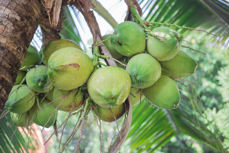 Kokosnüsse und Grün stockbild