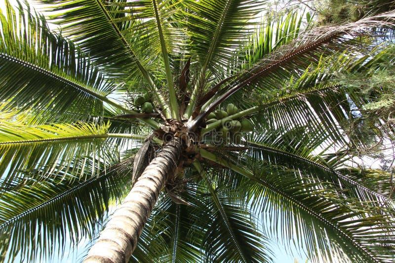 kokosn?tnaturen g?mma i handflatan tailandtreen royaltyfri bild