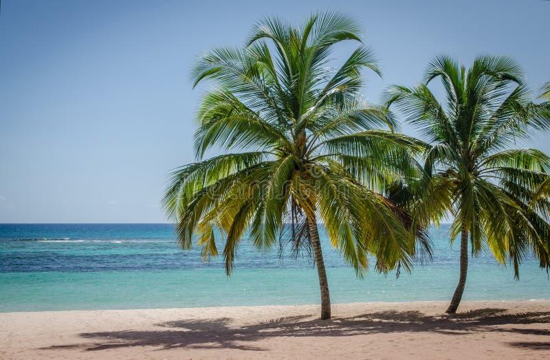 Kokosn?tpalmtr?d p? den vita sandiga stranden i den Saona ?n, Dominikanska republiken arkivfoto