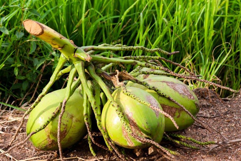 Kokosnoot royalty-vrije stock afbeelding