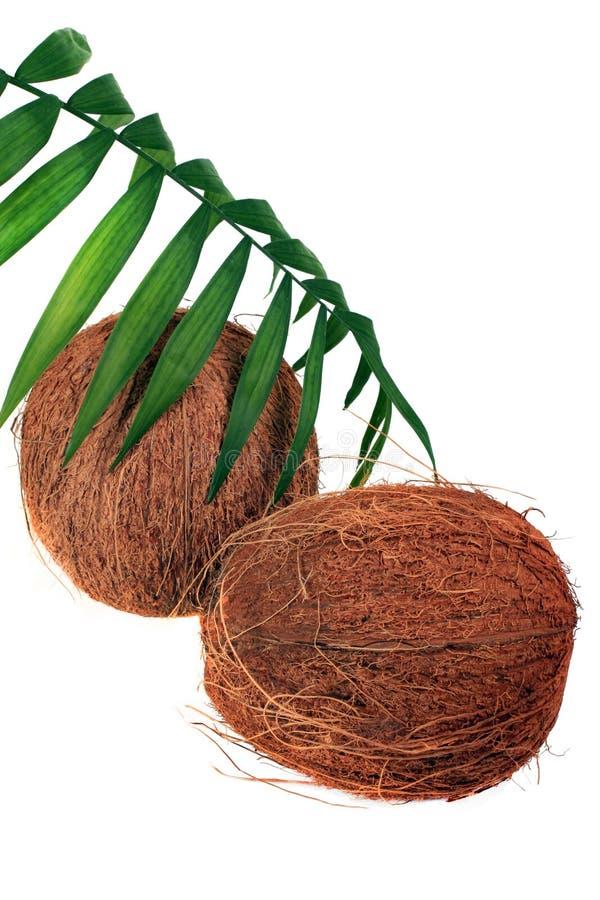 Kokosnoot en verse installatie stock foto
