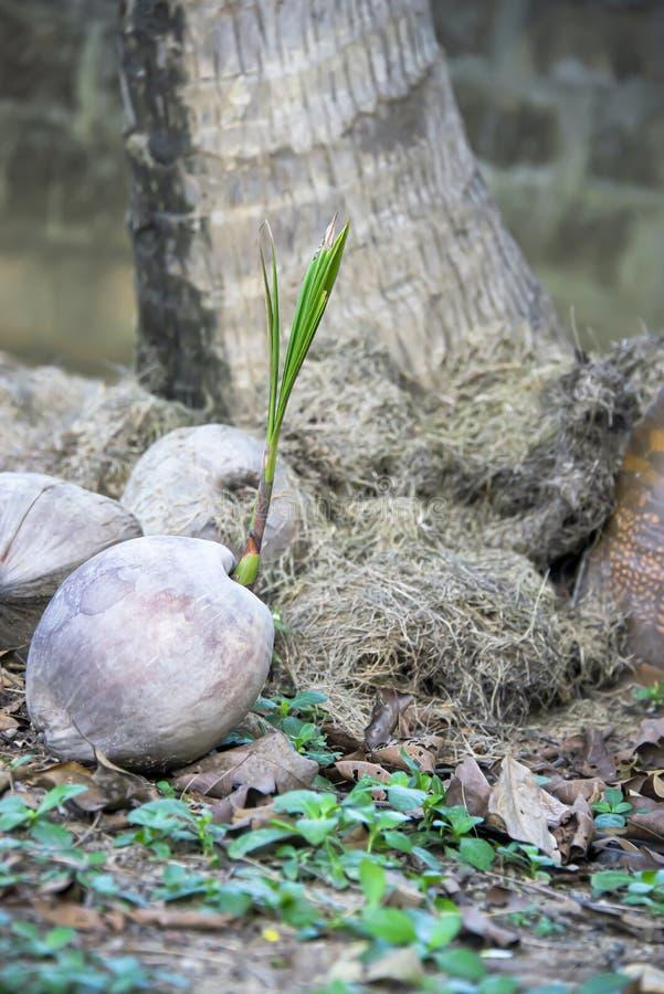 Kokosnoot nieuwe boom stock fotografie