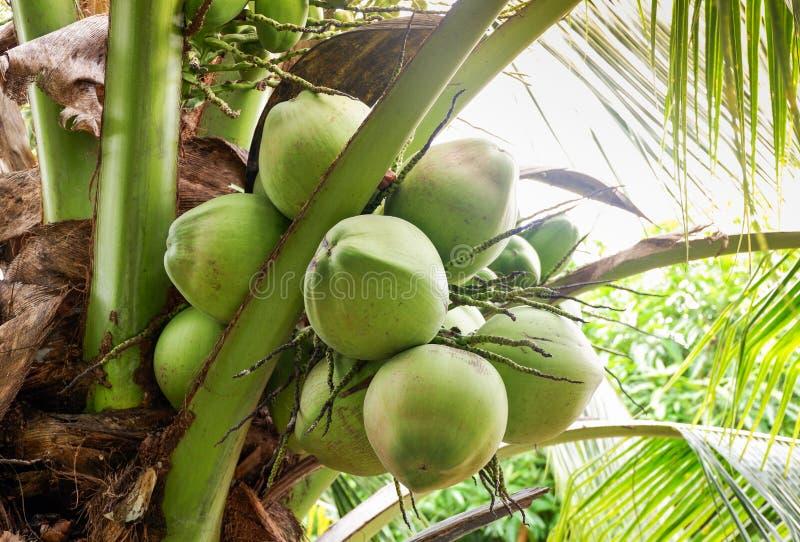Kokosnoot op de boom stock fotografie