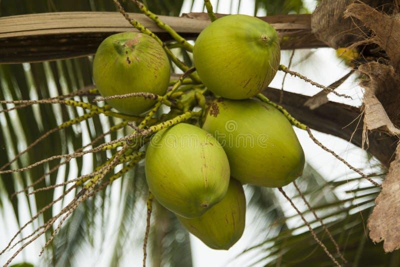 Kokosnoot op de palm stock afbeelding