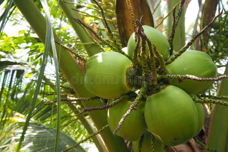Kokosnoot in Thailand voor kokosnotendrank royalty-vrije stock fotografie