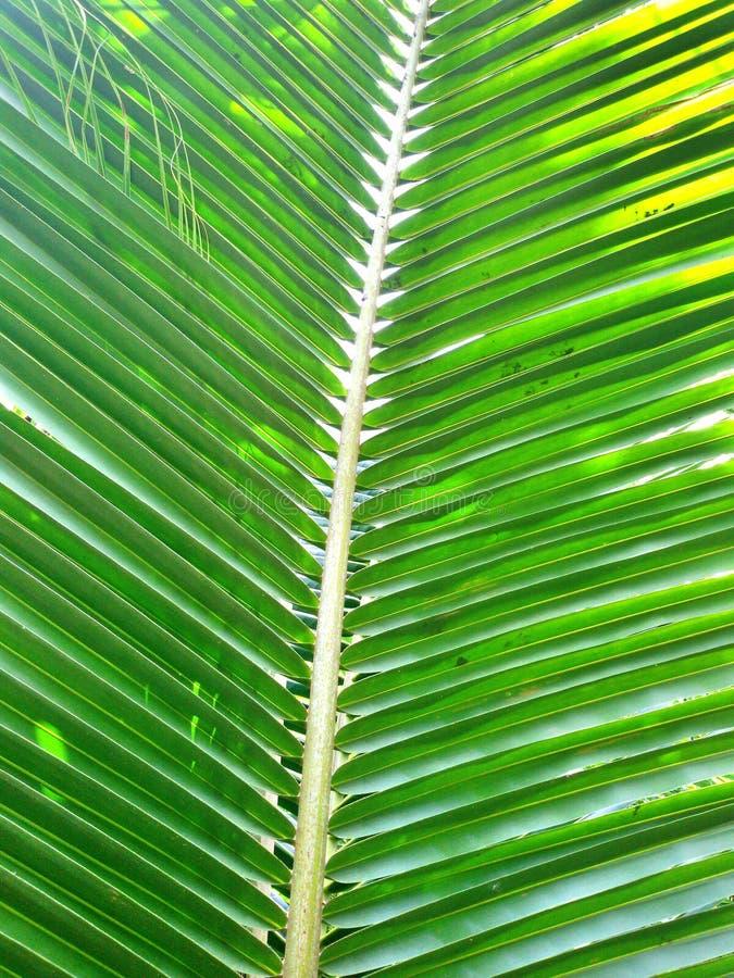 Kokosnoten Groen blad stock foto