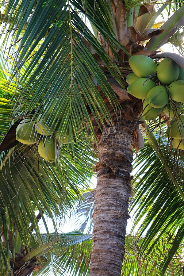 Kokosnoten hangen in een palmboom in Mexico royalty-vrije stock fotografie