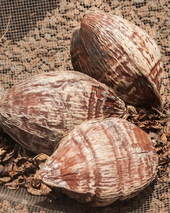 Kokosnoten jus na het oogsten van bomen bij een landbouwbedrijf in Kauai, Hawaï stock afbeelding