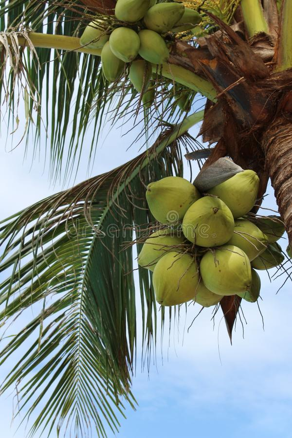 Kokosnoten op een palm stock afbeelding