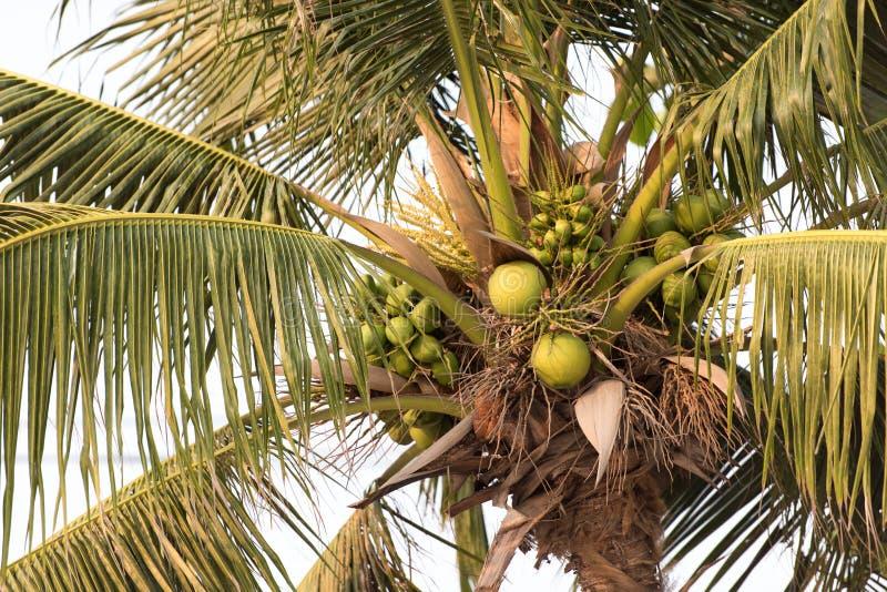 Kokosnoten op Kokospalmen stock fotografie