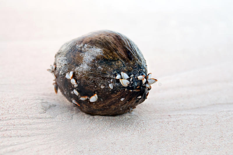 Kokosnoten Op Zand Stock Foto