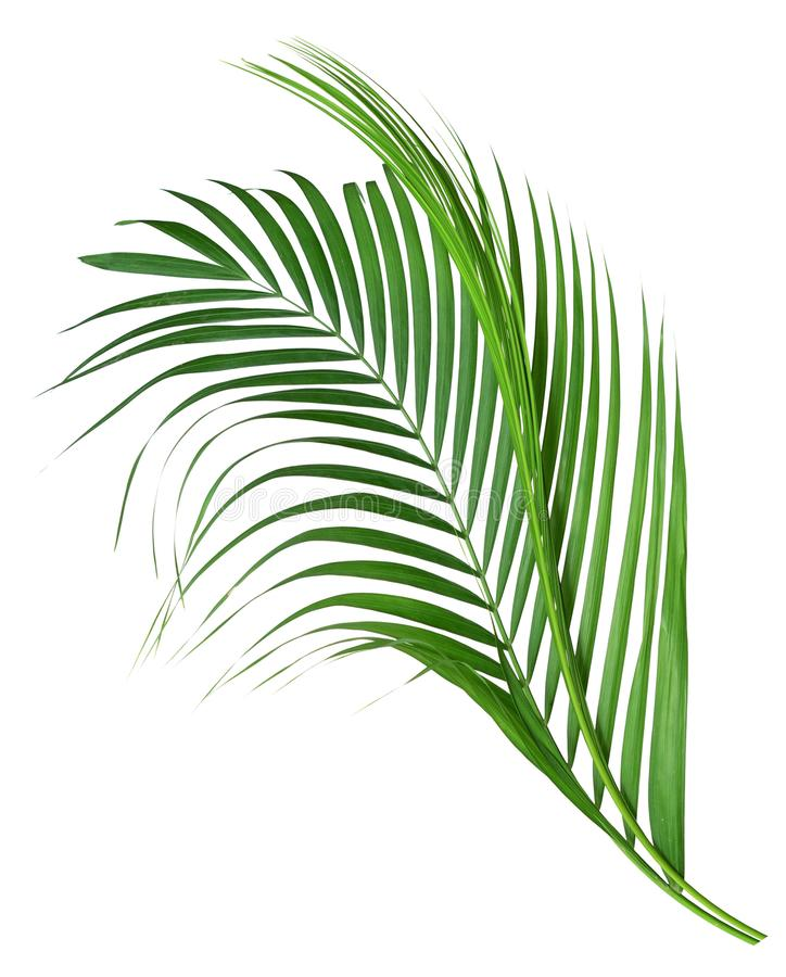 Kokosnotenbladeren of Kokosnotenvarenbladen, Groene plambladeren, Tak, struik stock afbeeldingen