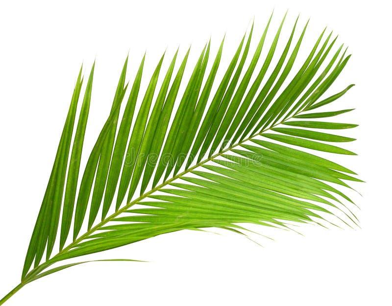 Kokosnotenbladeren of Kokosnotenvarenbladen, Groene plambladeren, Tropisch die gebladerte op witte achtergrond met het knippen va stock afbeeldingen