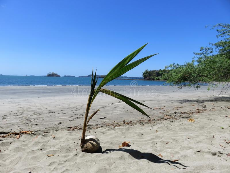 Kokosnoteninstallatie Boca Chica Panama royalty-vrije stock fotografie