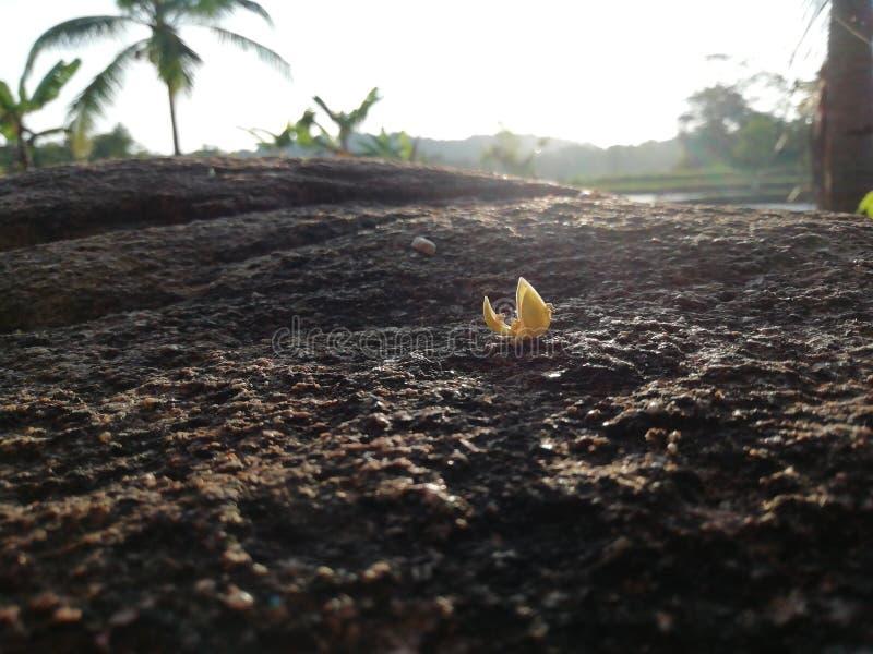 Kokosnotenknop op de rots stock foto