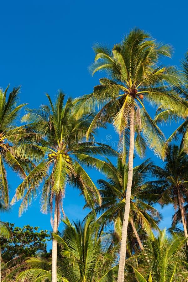 Kokosnotenpalm royalty-vrije stock afbeelding