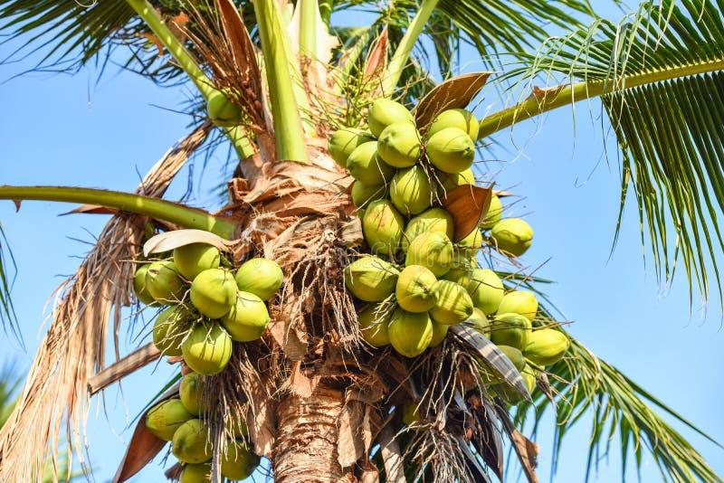 kokosnotenpalm en kokosnotenfruit in de tropische tuin met blauwe hemel royalty-vrije stock afbeeldingen
