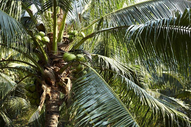 Download Kokosnotenparfum In Thailand Stock Afbeelding - Afbeelding bestaande uit paradijs, kokosnoot: 107707765
