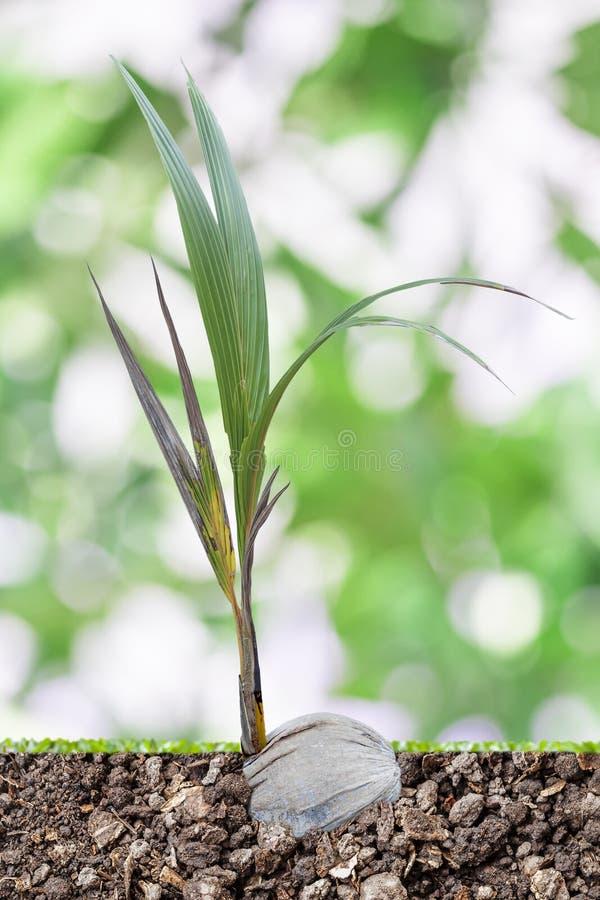Kokosnotenspruiten royalty-vrije stock afbeeldingen
