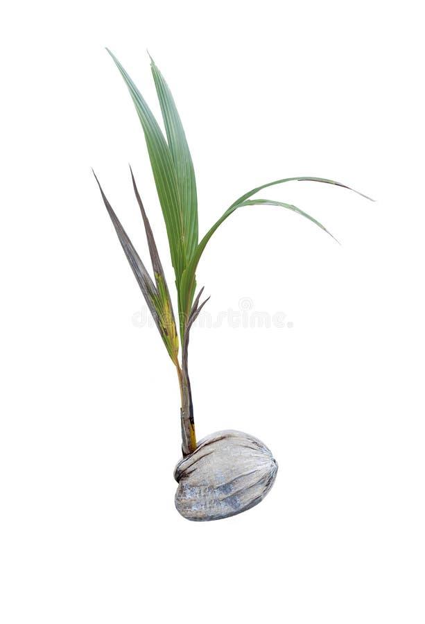 Kokosnotenspruiten stock foto