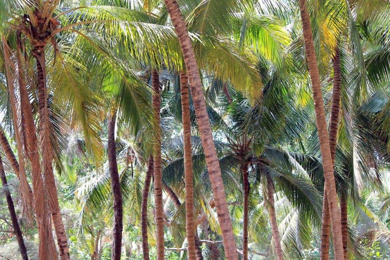 Kokosnotentuin stock foto's