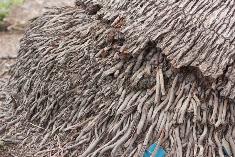 Kokosnotenwortel royalty-vrije stock afbeelding