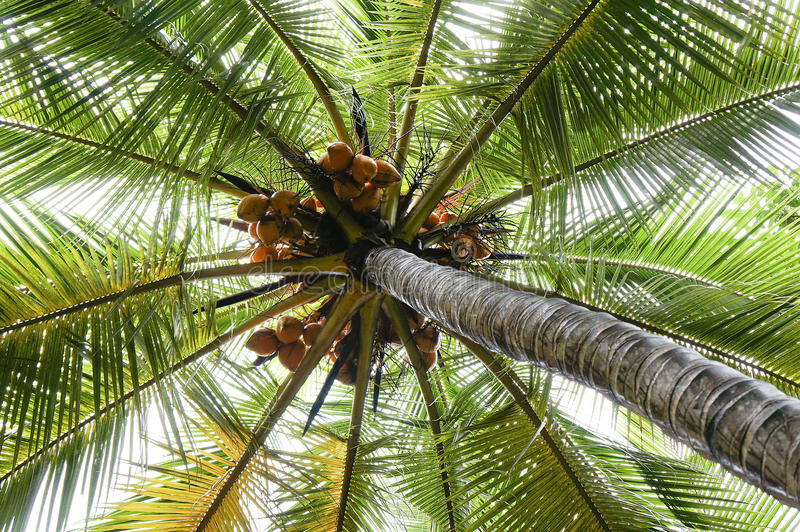 Kokosnuss auf der Palme lizenzfreie stockfotografie