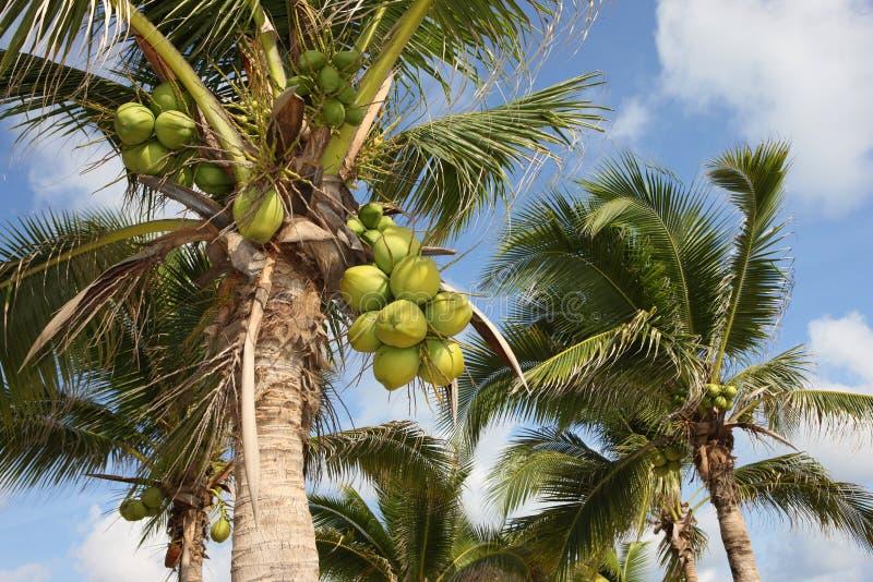 Kokosnuss-Bäume, Thailand lizenzfreie stockbilder