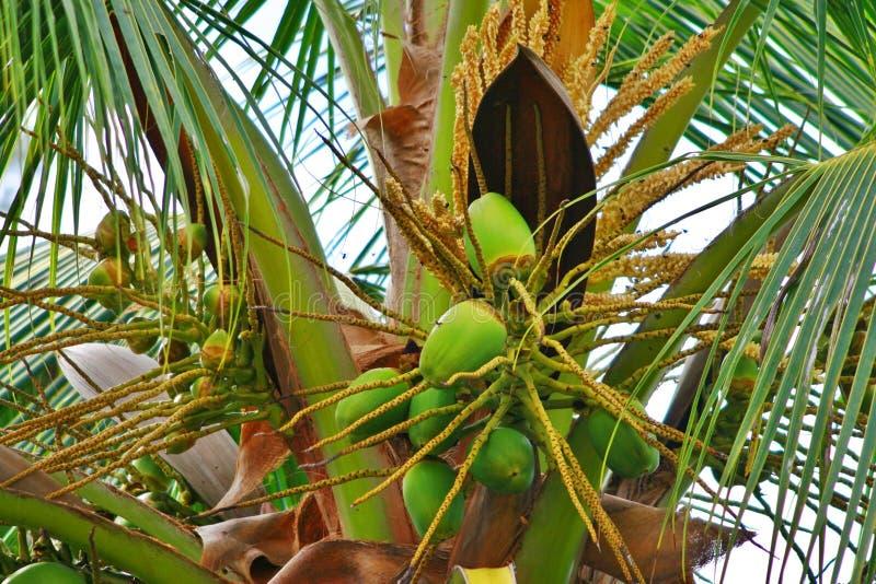 Kokosnuss-Baum lizenzfreies stockfoto