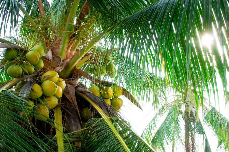 Kokosnuss-Baum stockbild