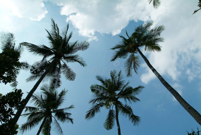 Kokosnuss-Baum stockbilder