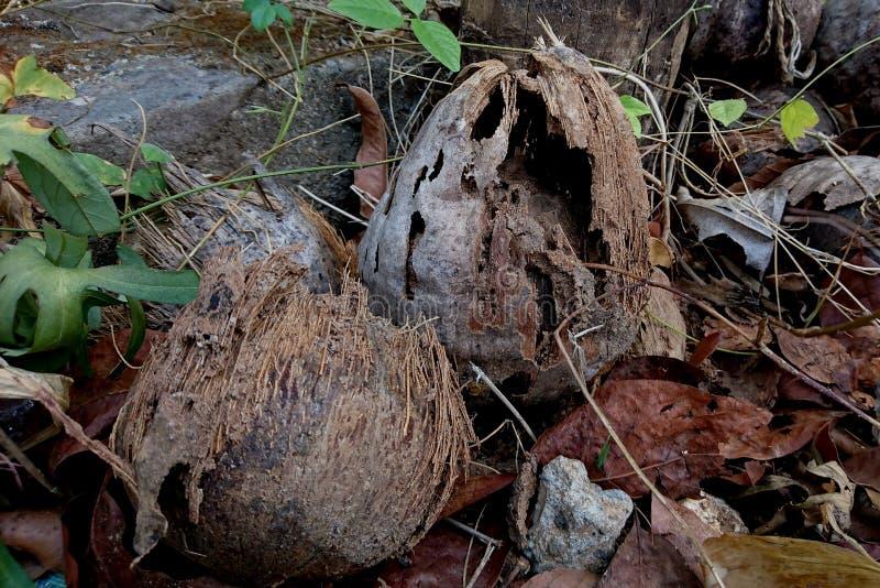 Kokosnuss, der durch Termiten verdorben ist lizenzfreie stockbilder