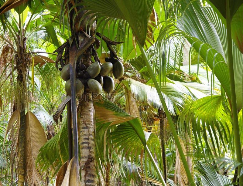 Kokosnuss oder Coco de Mere lizenzfreies stockbild