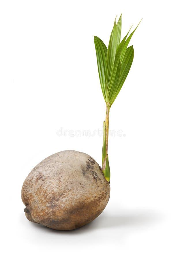 Kokosnuss-Palme stockfoto