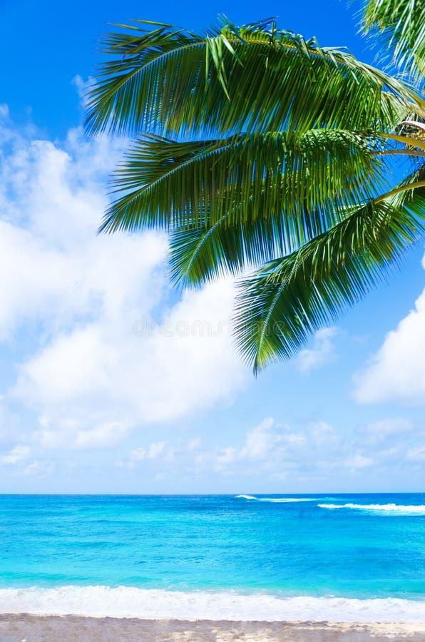 Kokosnuss-Palme auf dem sandigen Strand in Hawaii, Kauai lizenzfreie stockfotos