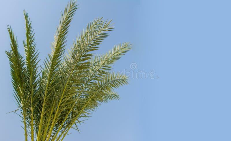 Kokosnuss verlässt auf Hintergrund des blauen Himmels, Kopienraum Ferien- und Tourismuskonzept lizenzfreies stockbild