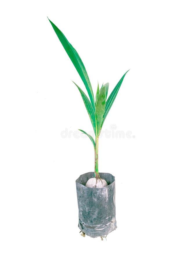 Kokosnussbäume auf einem weißen Hintergrund stockbild