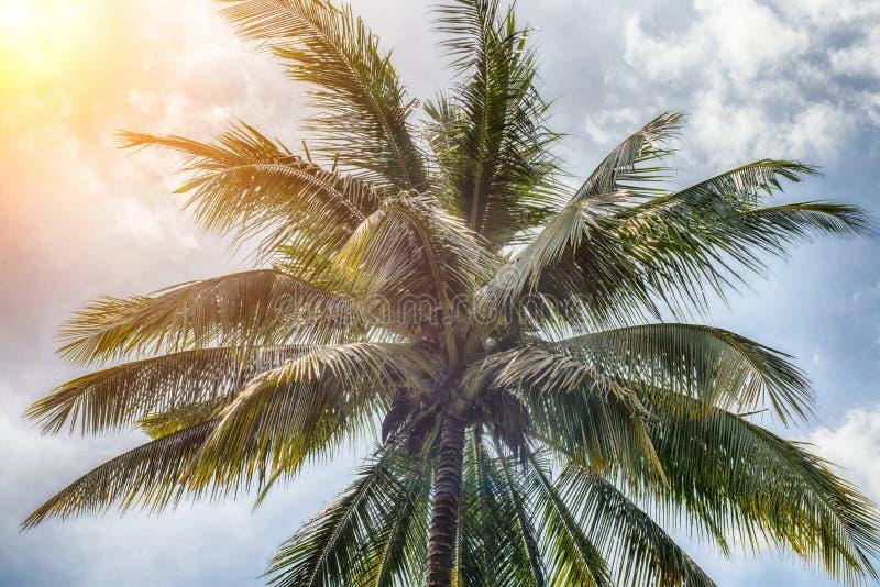 Kokosnussbäume haben volle Bälle stockfoto