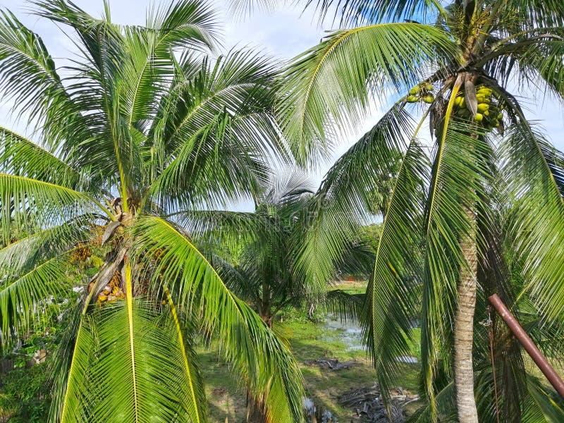 Kokosnussbauernhofbaum mit Kokosnuss stockfotos