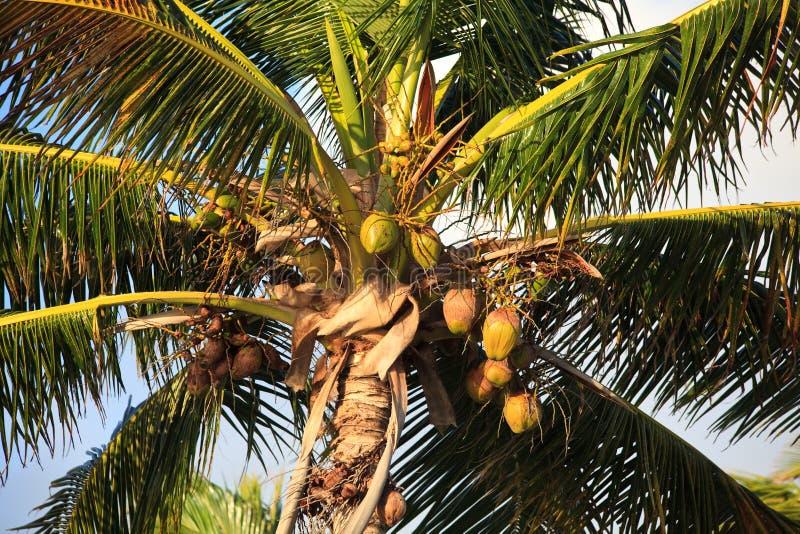 Kokosnussbaum. lizenzfreie stockfotos