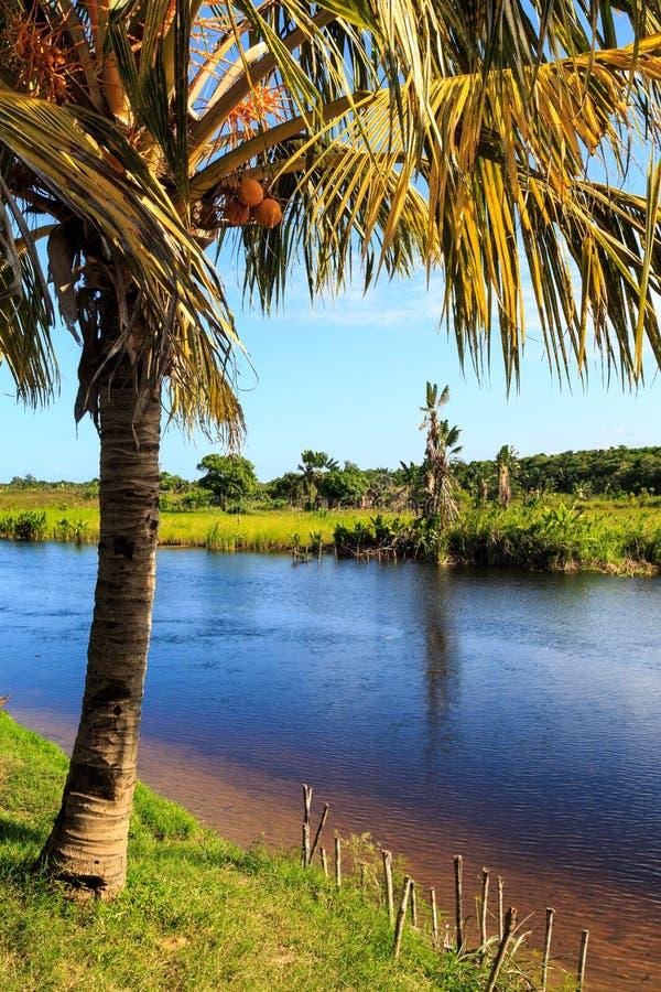 Kokosnussbaum in den Banken von einem Fluss stockfoto
