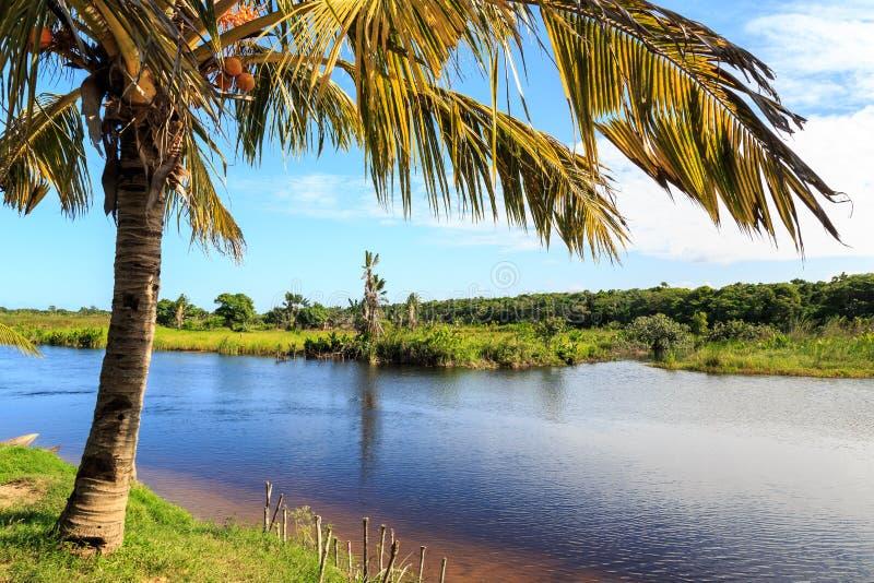 Kokosnussbaum in den Banken von einem Fluss stockfotos