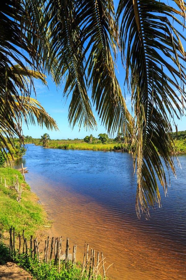 Kokosnussbaum in den Banken von einem Fluss lizenzfreies stockbild