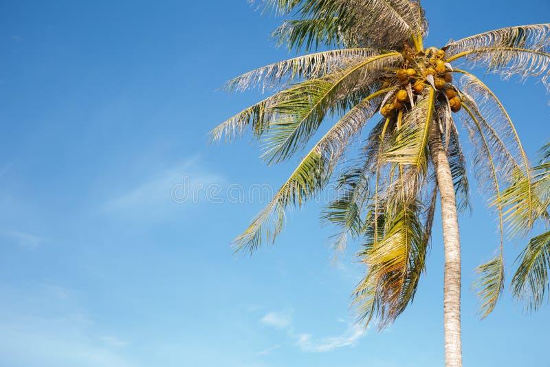 Kokosnussbaum im blauen Himmel im Sommer stockfotografie