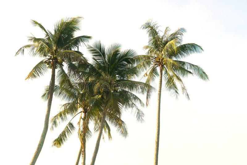 Kokosnussbaum lokalisiert auf wei?em Hintergrund lizenzfreie stockfotos